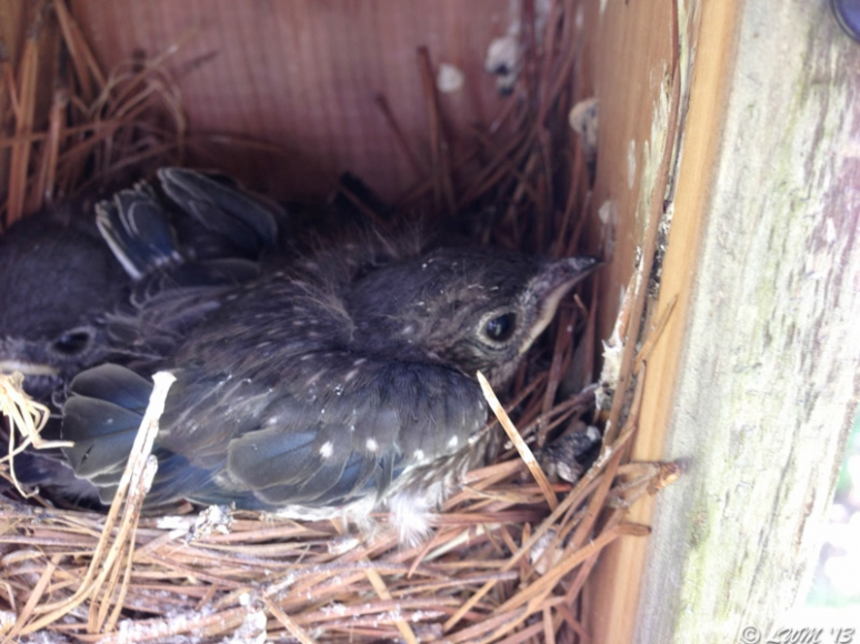 Day 17 of Bluebird Nesting