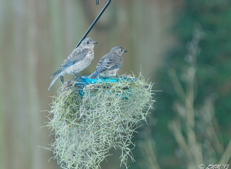 Young Eastern Bluebirds Feeding On Mealworms