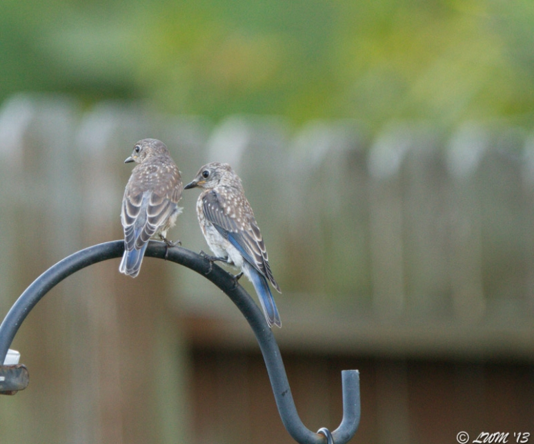 Eastern Bluebird Siblings Waiting For Mealworms