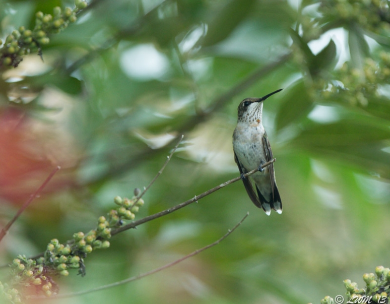 Young Male Ruby Throated Hummingbird Looking Left On Chaste Tree