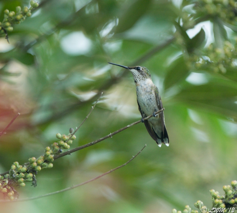 Young Male Ruby Throated Hummingbird Looking Right On Chaste Tree