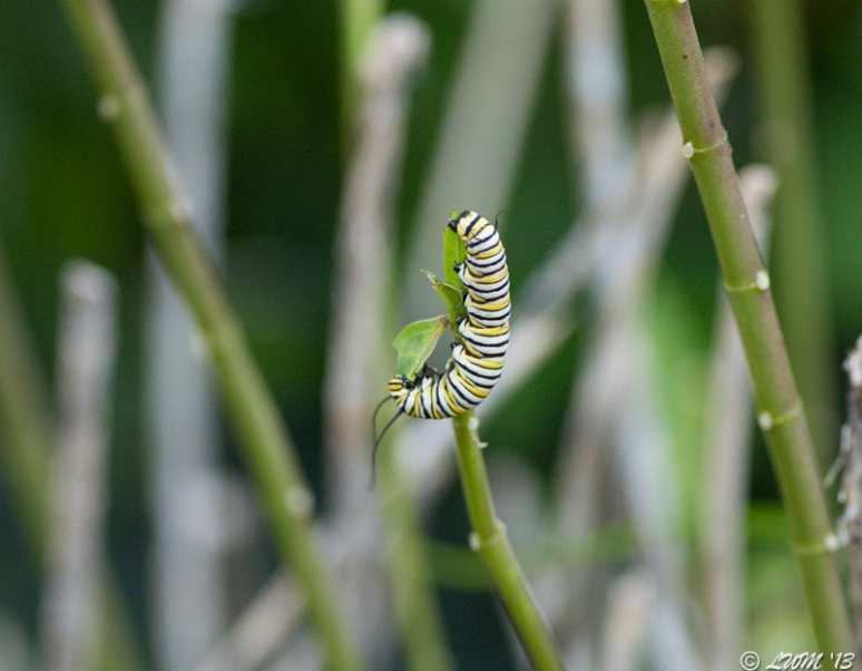 Monarch Caterpillar Chewing On End Of Milkweed