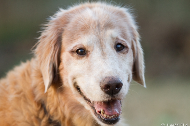 Maggie The Golden Retriever At 12 Years Old