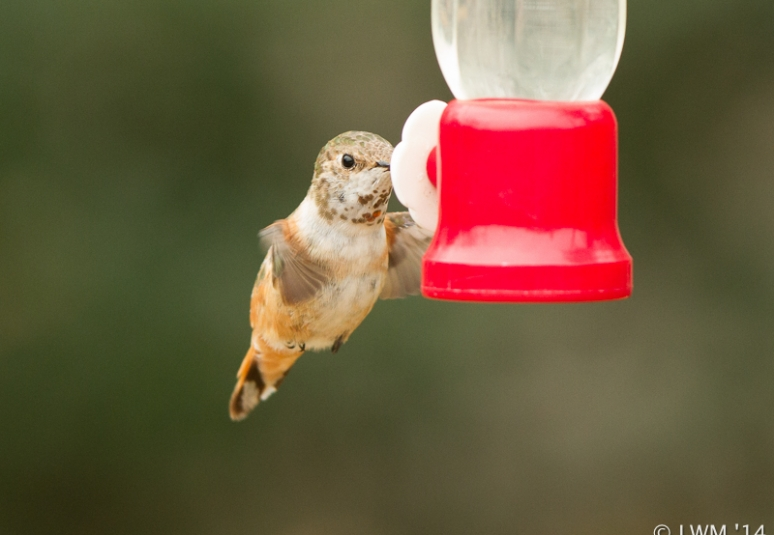 Rufous Hummingbird Showing Gorget