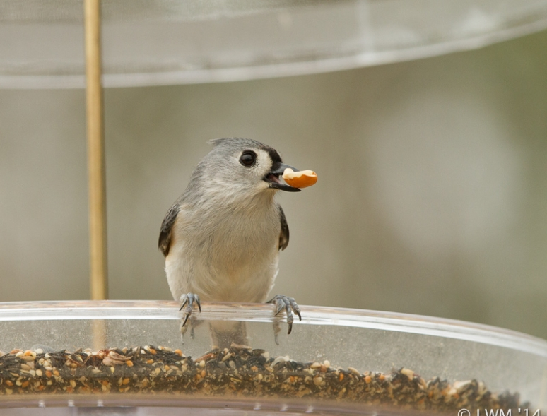 Tufted Titmouse Eating Peanut