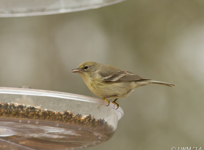 Pine Warbler Eating A Nut