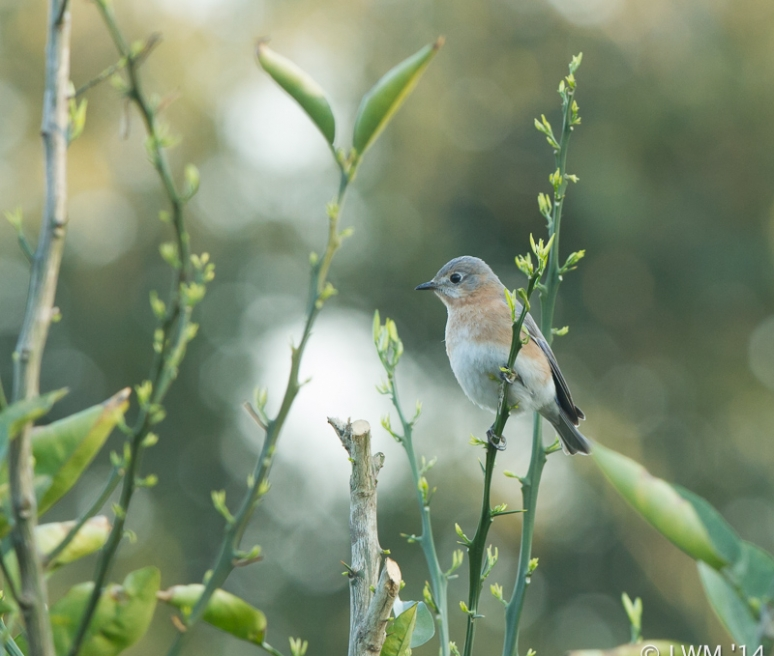 Female Eastern Bluebird In Orange Tree