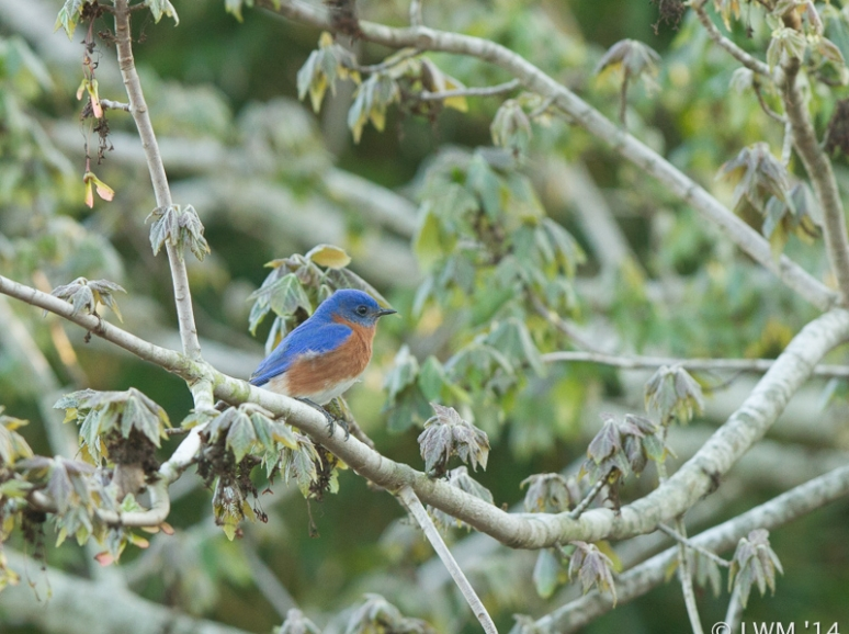 Male Eastern Bluebird In Maple Tree