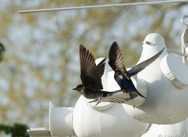Male And Female Purple Martin With Wings Spread