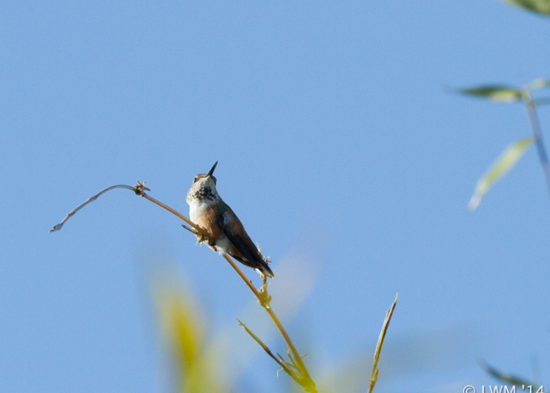 Rufous Hummingbird On Bamboo Branch