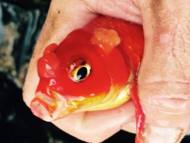 Goldfish Disease on Head, Nose, and Gill